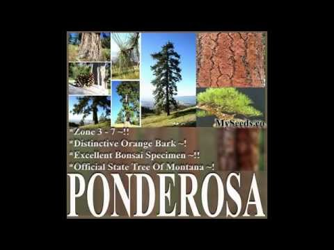 Ponderosa Pine, Bull Pine, Blackjack Pine, Pinus ponderosa, Tree Seeds  on  www.MySeeds.Co