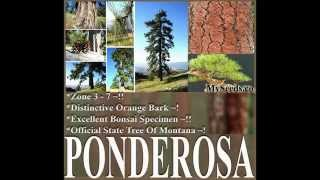 Ponderosa Pine, Bull Pine, Blackjack Pine, Pinus ponderosa, Tree Seeds  on  www.MySeeds.Co