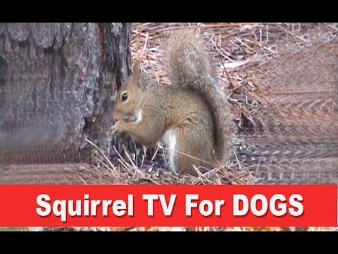 squirrel-tv---a-film-for-dogs
