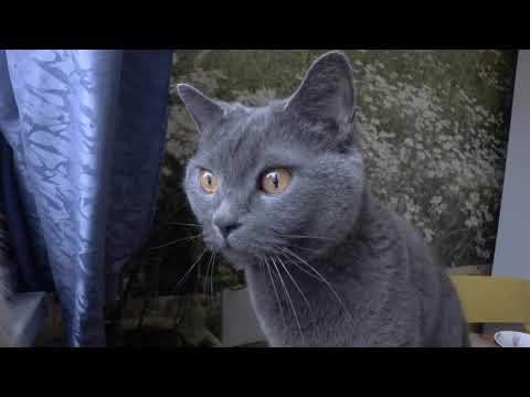 British Cat   ' TEST 4K 60f '
