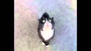 Кот поет песню Витаса прикол