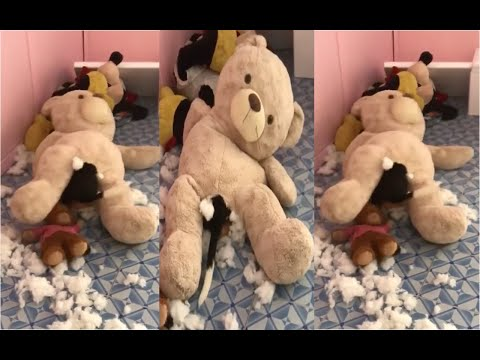 teddybear-gives-birth-to-a-beagle-puppy-|-beagle-universe