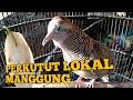 Jitu Perkutut Lokal Manggung Memancing Perkutut Lain Untuk Ikut Bunyi Gacor  Mp3 - Mp4 Download