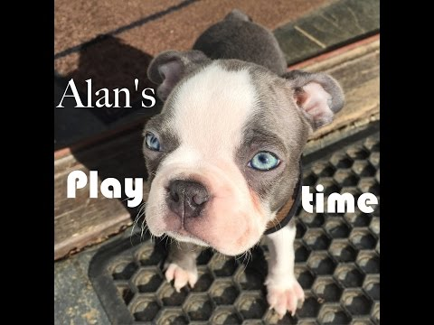Alan the blue boston terrier puppy playing