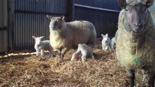 Schmallenberg virus hits UK farms
