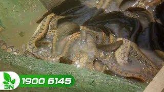 Kỹ thuật nuôi cá chạch trong bể xi măng