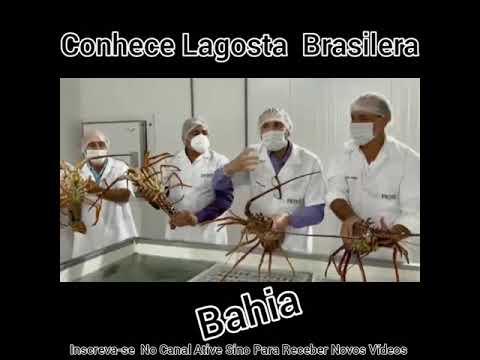 Você Conhece LAGOSTA BRASILEIRA, VEJA Porque Outros Países Vinham Pescar No Brasil .......olhocerto