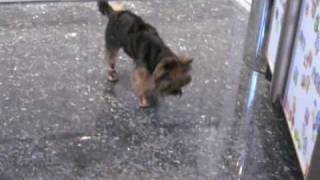 Yorkshire Terrier Walking Funny...