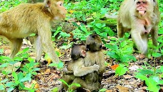 Popeye Much Concern Baby Lori Do Wrong On Baby Polly @8:8   Baby Monkeys Playing.