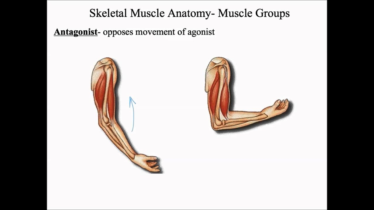 Muscular System Skeletal Muscle Anatomy Youtube