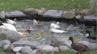 Call Ducks Race to the Pond!!