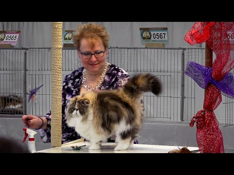 CFA International 2016 - Purple Show.Persian kitten BiColor class