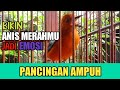 Pancingan Ampuh Anis Merah Bisu Macet  Mp3 - Mp4 Download