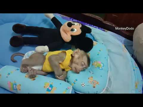 Baby Monkey Dodo Have A Sweet Dream, Dodo Want To Sleep With Mom And Dad