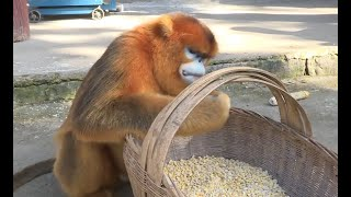 Strayed monkey makes itself at home in NW China village
