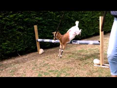 Saut d 39 obstacle ch vres pistache et kahu te youtube - Frison saut d obstacle ...