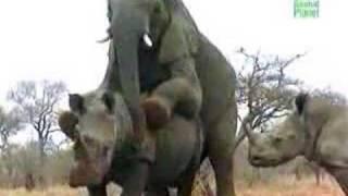 Elephant Having SEx