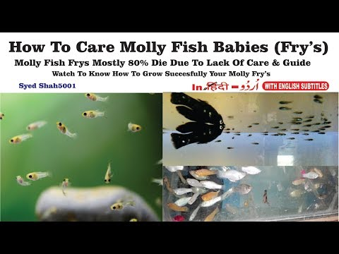 How To Care Baby Molly Fish  Molly Fish Fry's Care #Mollyfry'scare