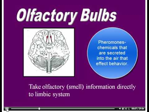 Thalamus and Olfactory bulbs