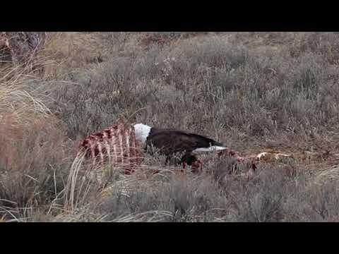Wonderful Wyoming Wildlife - Lots of Eagles