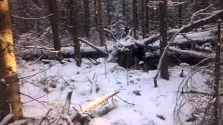 Восточно-сибирская Лайка- работа по соболю в дупле