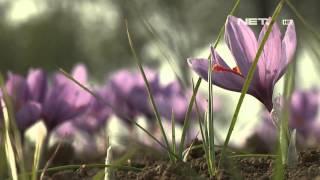 NET12 - Saffron rempah termahal di dunia
