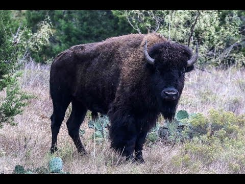 Bison Hunts & Overview Of Exotics