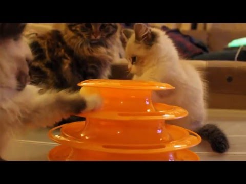 Siberian Kittens playing pingpong