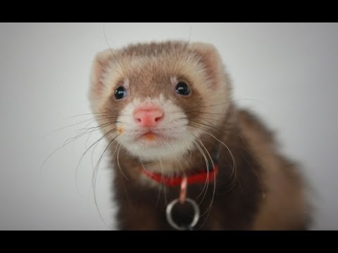 Sebastian the Ferret