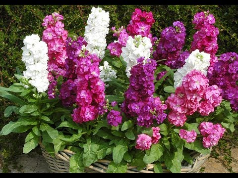 Купите эти цветы, не пожалеете  А мы расскажем, как сеять