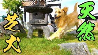 犬も大喜びの庭の天然芝を張り替える!!