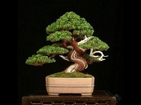 COMO ENTORTAR O TRONCO DO BONSAI