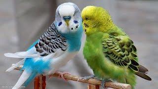 Яшик заболел! как лечить попугая и каким кормом кормить.