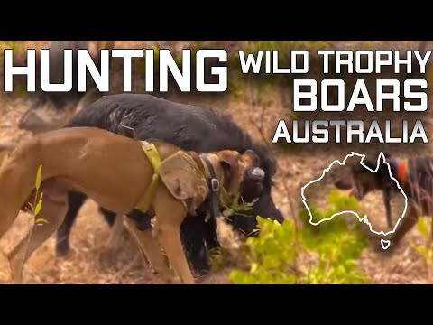 Hunting Wild Trophy Boars Australia Pig Dogs Fight Tusks Tonner