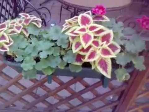 Ампельные растения для балкона - youtube.