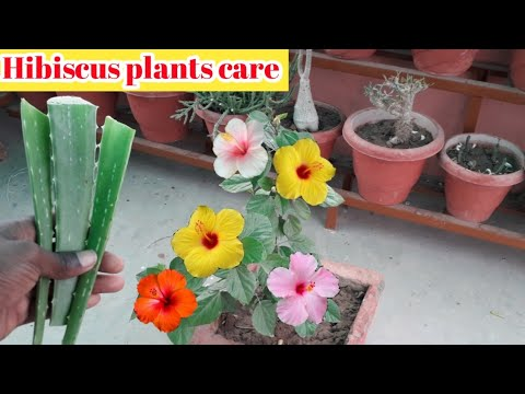 Caring Hibiscus in Winter season || सर्दियों में गुड़हल को fertilizer देने का तरीका