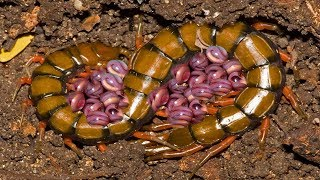 Video Mother Centipede Laying Eggs Beyond Father Centipede's Protection His Family download MP3, 3GP, MP4, WEBM, AVI, FLV Agustus 2018
