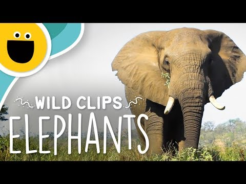 The Elephant Song | Wild Clips (Sesame Studios)