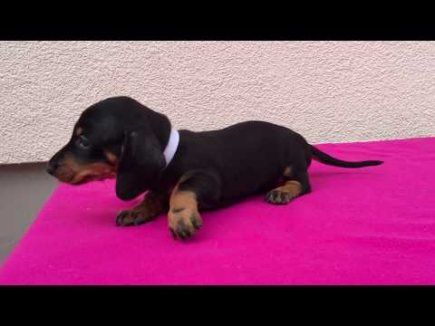 Sheba - Standard Size Dachshund Puppy for sale