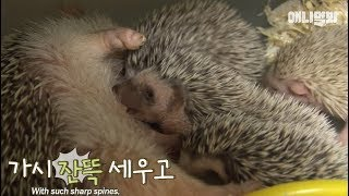 Baby hedgehog's have soft hair?... we ran an experimented!