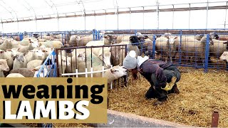 How & When We Wean Lambs  (ON OUR INDOOR SHEEP FARM): Vlog 178