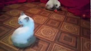 Сиамские котята, возраст 4 мес.