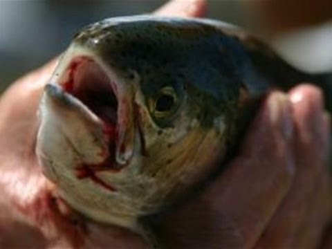 How To Differentiate Farmed Fish And Wild Fish