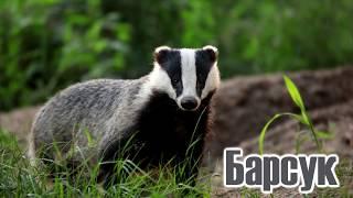Дикие животные леса|Учим диких животных|Дикие животные России|Голоса и звуки диких животных