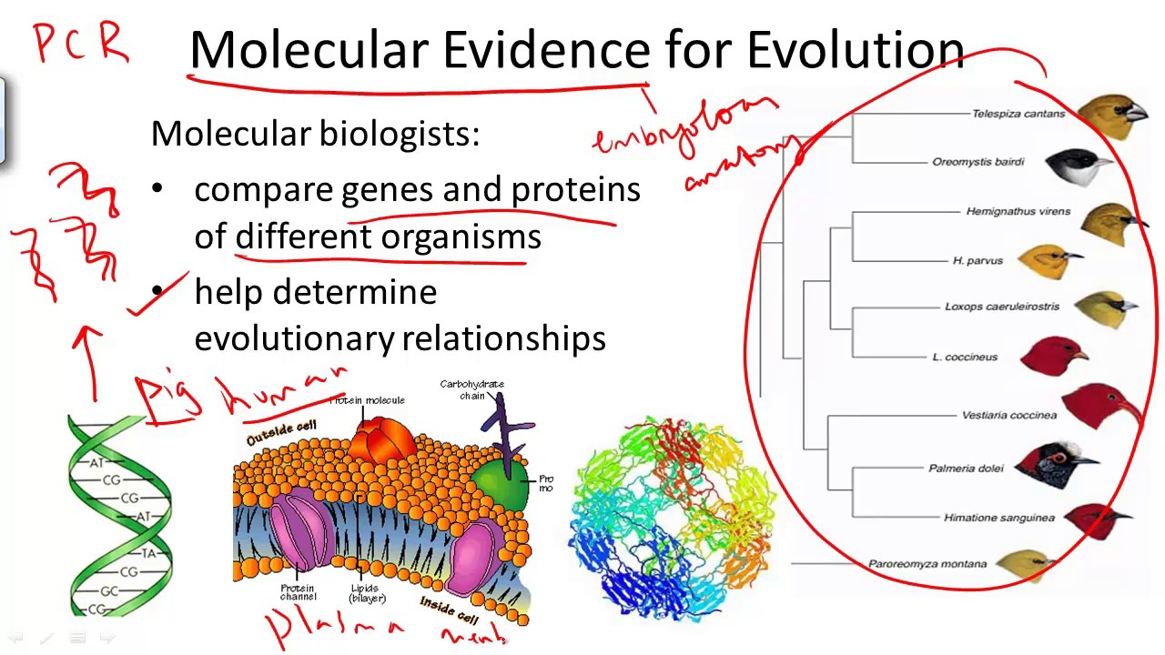Molecular Evidence For Evolution Youtube