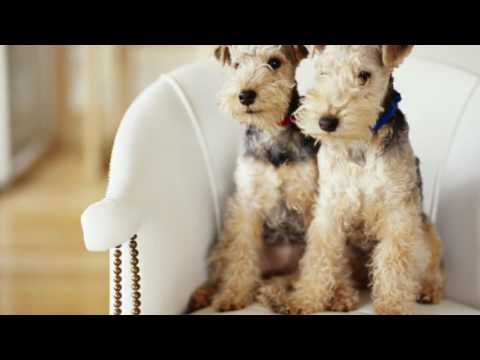Airedale Terrier - Dog Breeds Information, Origin, History, Appearance, Temperament, Health