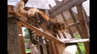 Питомник PRIDE-NATALIE предлагает котят породы Мейн кун. В питомнике есть котята 8-985-110-30-10