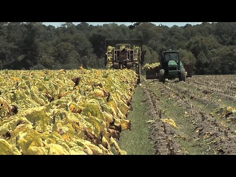 Georgia Tobacco Growers Bring In The 2015 Crop