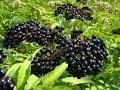 Top 10 Amazing Health Benefits Of Elderberry Fresh Fruit | fruit of the month