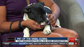 Pet of the Week- five-month-old lab mix Korra